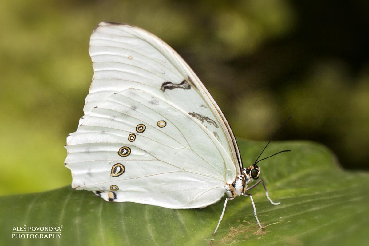 Motýl b