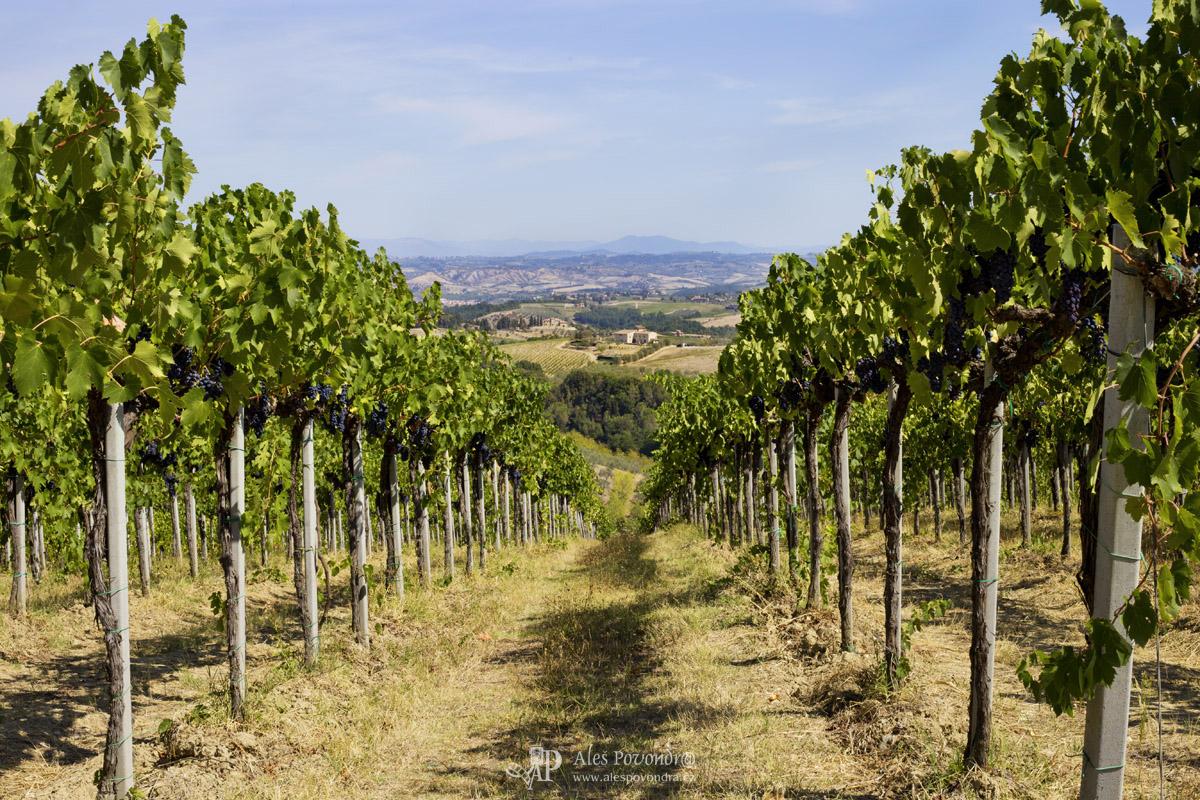 Toskánsko vinice
